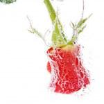 Romantic rose — Stock Photo