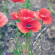 Red poppy — Stock Photo #26642057