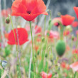 Red poppy — Stock Photo #26642063