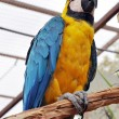 Parrot  yellow — Stock Photo