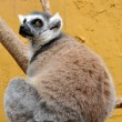 Lemur — Stock Photo #27566717