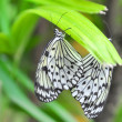 Butterfly on a flower. Idea leuconoe — Stock Photo