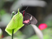 Parides iphidamas — Stock Photo