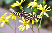 Butterfly on a flower. Heliconius charitonius — Stock Photo