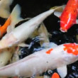 Koi fish — Stock Video #27567655