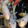 Stock Video: Koi fish