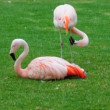 Flock of Beautiful Flamingos — Stock Video
