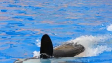 Killer orca — Stock Video