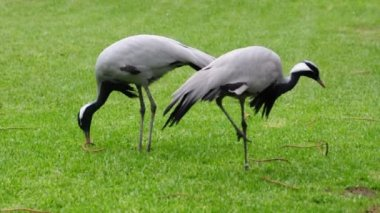 Demoiselle Crane Birds — Stock Video