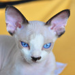 Devon Rex kitten. Close-up portrait — Stock Photo
