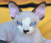 Devon Rex kitten. Close-up portrait — Zdjęcie stockowe