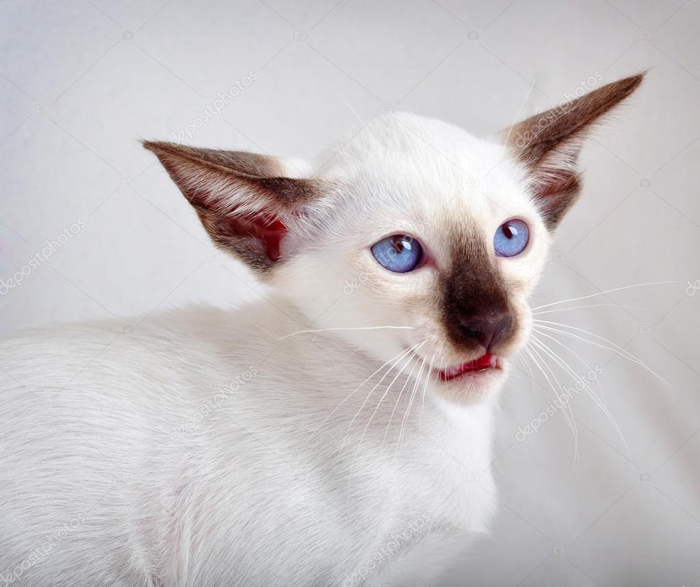 cat breeders chicago