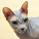 Shinx cat — Stock Photo