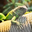 Iguana lizard — Stock Photo