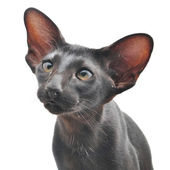 Black Oriental cat — Stock Photo