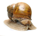 Snails isolated — Stock Photo