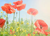 Field of wild poppies and other flowers — Stock Photo