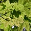 Maple leaf tree - Stock Photo