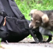 Puppy and knapsack — Stock Video