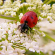 Lady bug — Stock Video