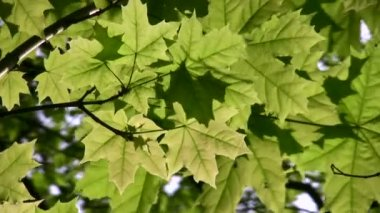 Akçaağaç ağaç yaprak — Stok video