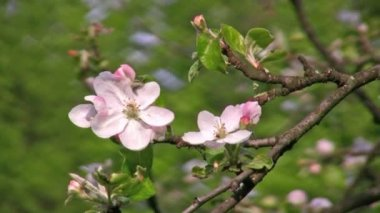 Apple flower tree