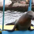Stock Video: Fur seal