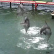 Stock Video: Jumping dolphins