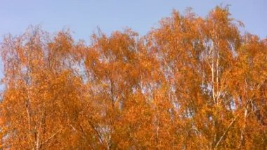 Autumnal leaves on sky — Stock Video #12321868