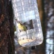 Stock Video: Tomtit on tree near feeding trough