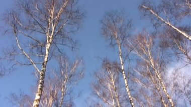 Tops of birches in blue sky — Stock Video