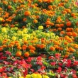 Stock Video: Yellow, orange, red, blue, violet flower beds