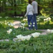 Couple walks in the park amoung tulips - Stockfoto