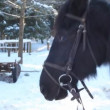 Stock Video: Horse eats snow