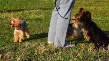 Tre små yorkshire terrier med deras mästare — Stockvideo