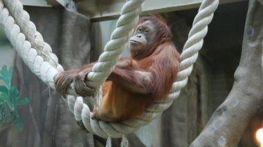 Большая обезьяна на веревке — Стоковое видео