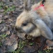 Scared rabbit on a red leash smelling air sitting on ground - Stockfoto