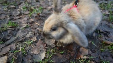 Scared rabbit on a red leash smelling air sitting on ground — Stock Video #18190459