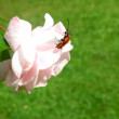 Longhorn bug crawling over pink rose — Stock Video #19480621