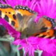 Stock Video: Black-orange butterfly creeps on flower