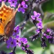 Stock Video: Black-orange butterfly waving wings and creeping on flower