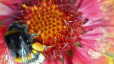 Striped big bumblebee creeps on flower — Stock Video