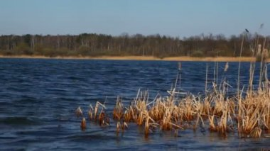 Reed mace growths in dark blue water of autumn lake near forest — Stock Video