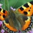 Stock Video: Butterfly creeps on inflorescence flowers