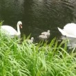 Pair of white swans with nestlings on pond — Stock Video #27546369