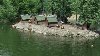 島の鳥と動物園の池での鳥の家します。. — ストックビデオ