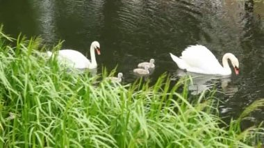 Pair of white swans with nestlings on pond — Stock Video
