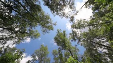 Crones of trees and sun shines through gentle green foliage — Stock Video