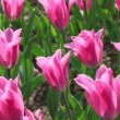 Pink tulips, closeup of flowerbed — Stock Video