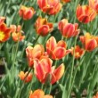 Stock Video: Orange tulips, Threecolored Beauty sort